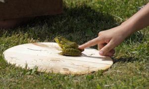 Frog jumping fun at Hanford Mills